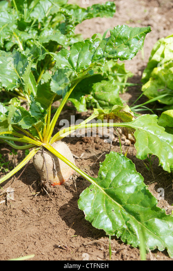 Yellow beet root plant in an allotment garden. - Stock Image