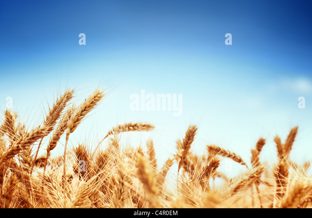 Wheat field against a blue sky - Stock Image