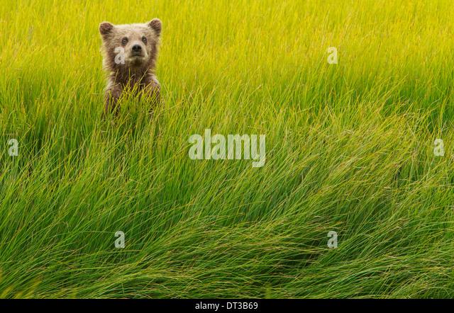 Brown bear cub, Lake Clark National Park, Alaska, USA - Stock-Bilder