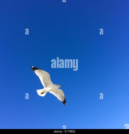 A seagull flying. Manhattan Beach, California USA. - Stock Image