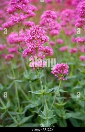 Valerian wild flowers in the Irish countryside. - Stock Image