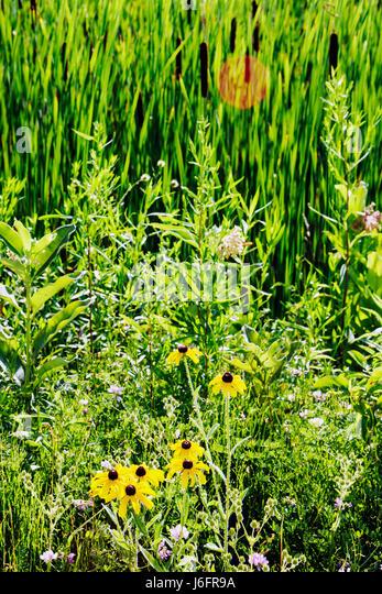 Wisconsin Kenosha Kansasville Richard Bong State Recreation Area grassland prairie wetland wildflowers yellow coneflower - Stock Image