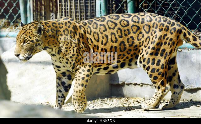 Jaguar - Stock Image