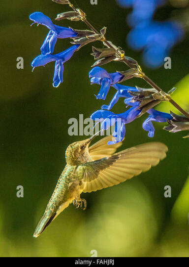 Birds, Hummingbird feeding on nectar. Anise Sage/Black & Blue (Salvia quaratia) flower.Idaho, USA - Stock Image