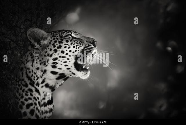 Leopard Portrait (Artistic processing) - Kruger National Park - South Africa - Stock-Bilder