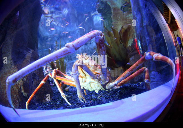 Dubai mall, aquarium, underwater Zoo, giant crab, Dubai - Stock Image