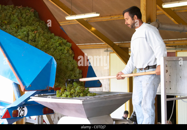 receiving grapes in the press hopper chardonnay dom m juillot mercurey burgundy france - Stock Image