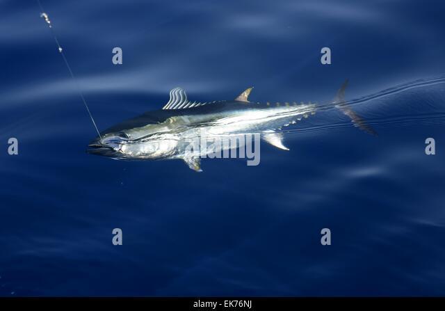 Yellow fin tuna fishing stock photos yellow fin tuna for Blue fin fish