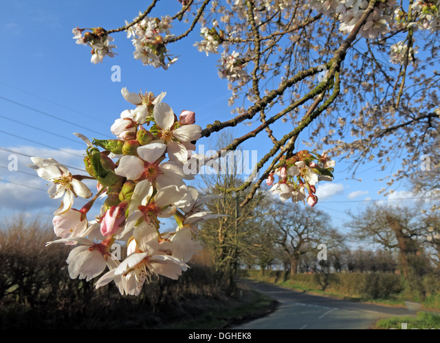 White beautiful English flowers and blossoms of spring UK - Stock Image