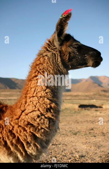 Lama near Uyuni,  Bolivia - Stock Image