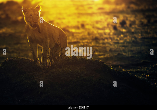 Lion with a wildebeest kill at sunrise, Masai Mara, Kenya - Stock Image