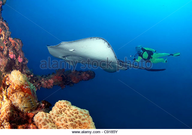 Stingray at the SS Yongala Shipwreck, Great Barrier Reef Marine Park Queensland Australia - Stock Image