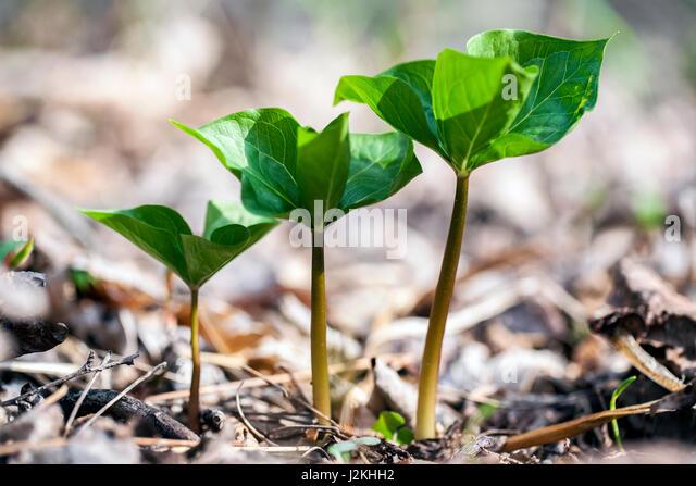 Trillium plants in a row - Pisgah National Forest, Brevard, North Carolina; USA - Stock Image