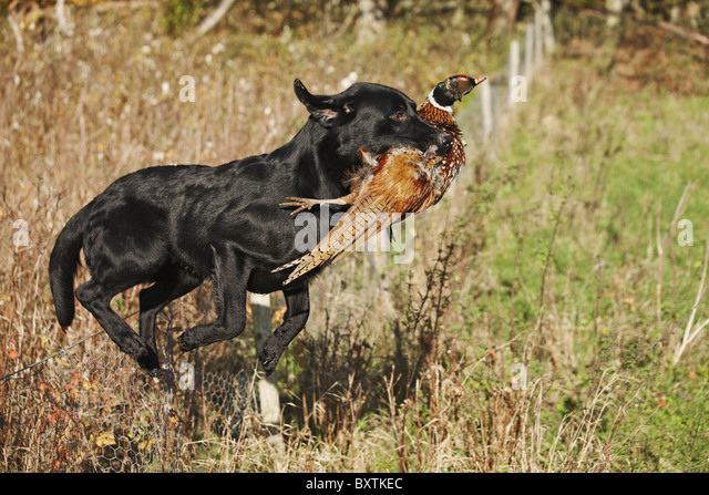 Well trained Black Labrador running with ring-necked pheasant that has been shot during a pheasant hunt. - Stock Image