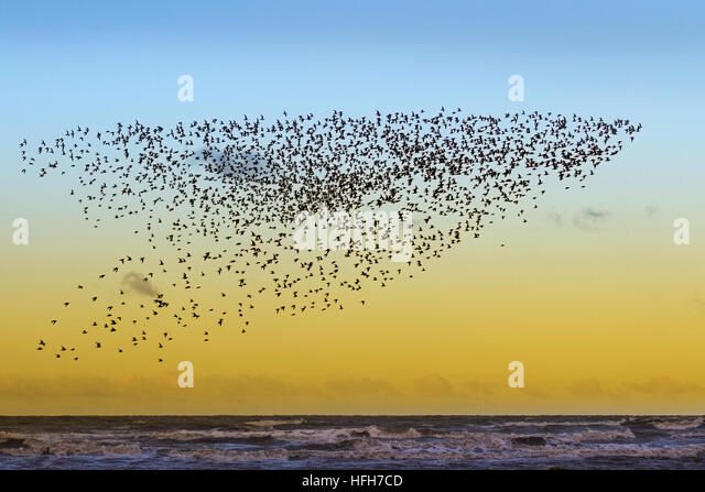 Southport, Merseyside, UK Weather. 1st January, 2017.  Cold northerly winds blow in wheeling flocks of migratory - Stock Image