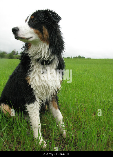 portrait of Australian shepherd sitting in tall  green grass - Stock Image