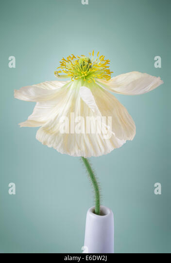 Single white Poppy on pale green background - Stock Image