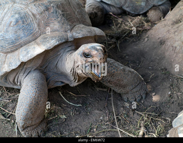 Ile Rodrigues tortues geantes  Parc François Leguat mauritius Ocean Indien - Stock-Bilder