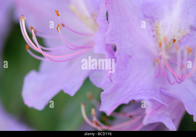 gorgeous colour flower soft ethereal and elegant azaleas fine art photography  Jane Ann Butler Photography  JABP491 - Stock Image