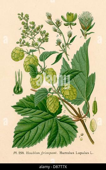 Plants Humulus Lupulus - Stock Image