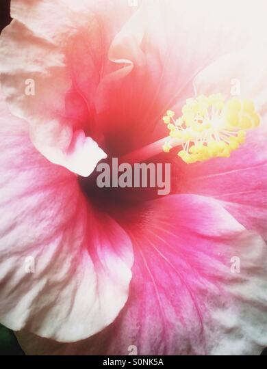 Pink hibiscus flower - Stock Image