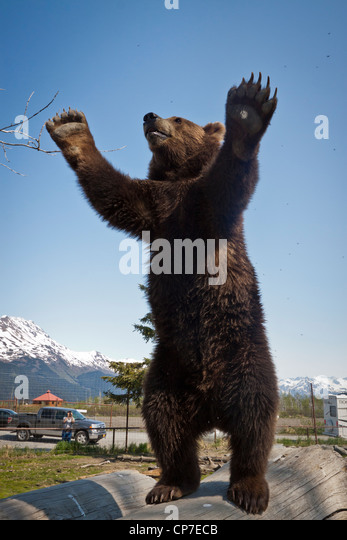 CAPTIVE: Male Brown bear stands on hind feet on a log with his arms raised, Alaska Wildlife Conservation Center, - Stock Image