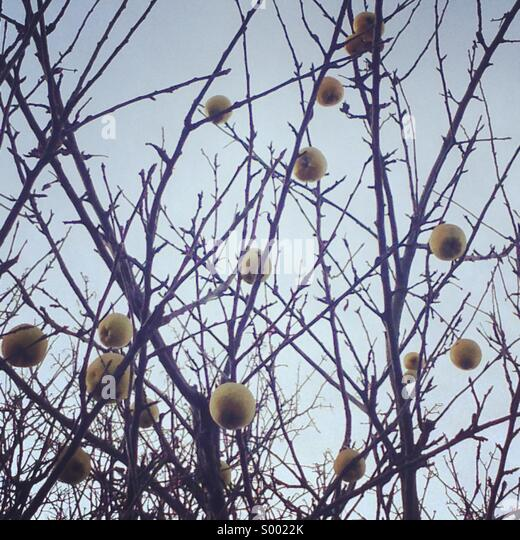 Apples on a tree with no leaves in winter - Stock-Bilder