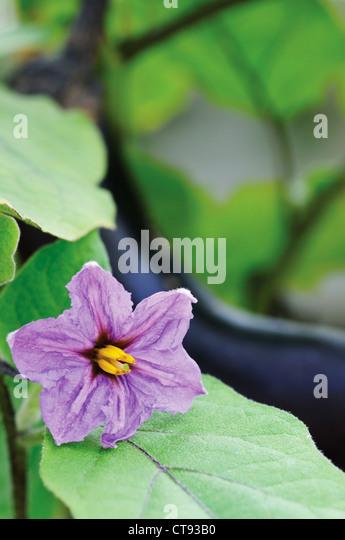 Solanum melongena, Aubergine - Stock Image