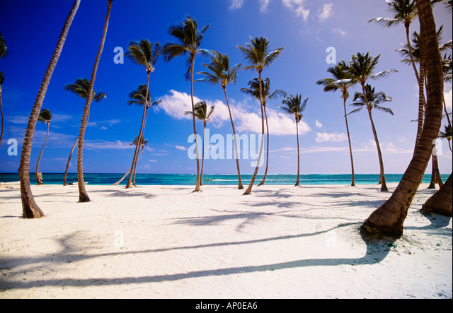 Tropical Scene Of A Cluster Of Palm Trees On A White Sand Dominican Republic Beach in Punta Cana With A Beached - Stock Image