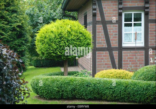 Lawson cypress, Port Orford cedar (Chamaecyparis lawsoniana 'Yvonne', Chamaecyparis lawsoniana Yvonne), - Stock Image