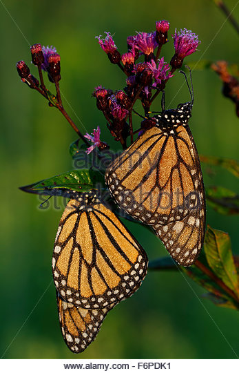 Two Monarch Butterflies (Danaus plexippus) at sunrise on a Ironweed Plant. - Stock Image