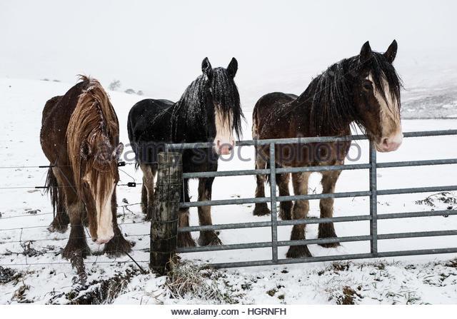 Gilmanscleugh, Ettrick Bridge, Selkirk, Scottish Borders, UK. 12th January 2017. Horses endure heavy snowfall in - Stock Image