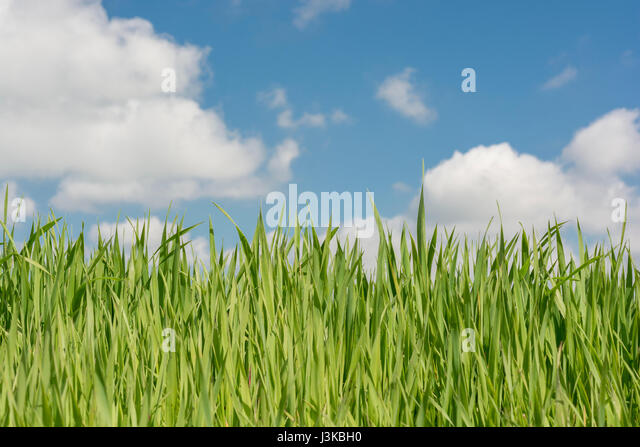 Swathe of fresh green grass - metaphor for many related 'grass' sayings - like 'Don't Let the Grass - Stock Image