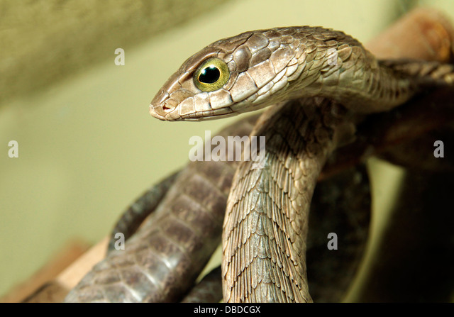 The boomslang or tree snake is a timid snake and most bites occur when people attempt to handle it. - Stock Image