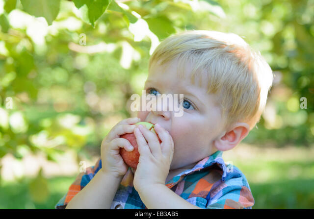 Boy eating apple in orchard - Stock Image