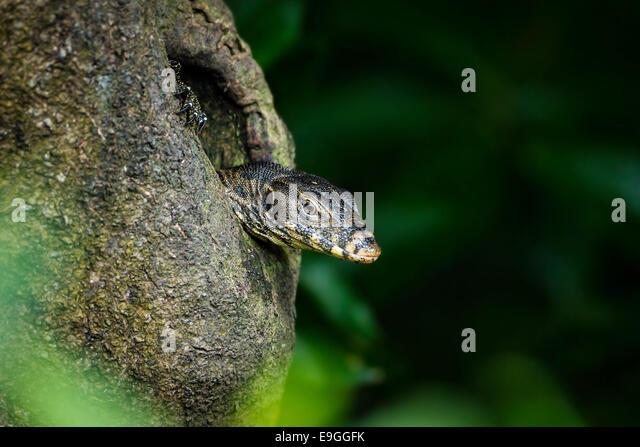 Malayan Water Monitor Lizard (Varanus salvator) emerges from a hole in a mangrove tree - Stock-Bilder