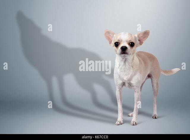 Chihuahua dog with wild wolf shadow, animal character concept - Stock Image
