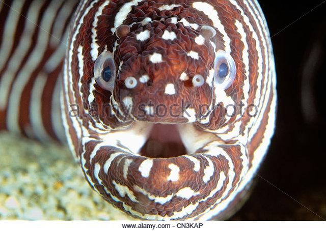 Zebra moray eel, Pacific Ocean - Stock Image