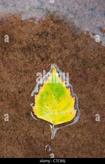 Betula pendular . Silver birch leaf on a wet path - Stock Image