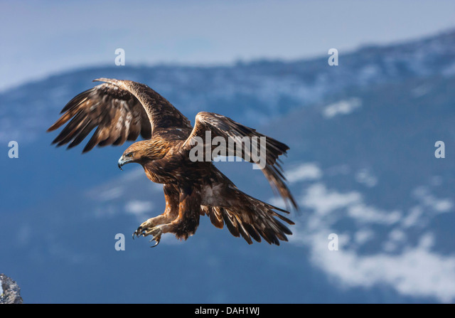 muslim singles in golden eagle Eagle symbolism & meaning - eagle spirit animal is the symbol of ultimate freedom, eagle is a powerful totem of timing & victory the spiritual meaning of eagle brings an invitation for a spiritual quest.