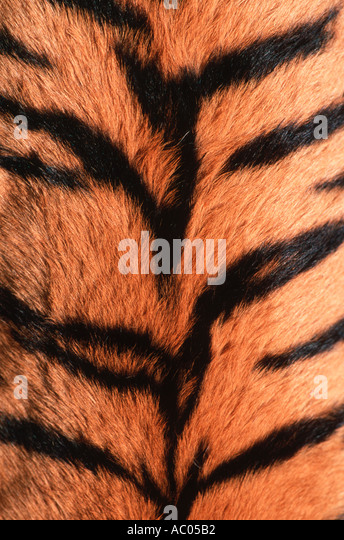 Tiger Panthera tigris Showing skin pattern Endangered Asia but extinct in much of its range - Stock Image
