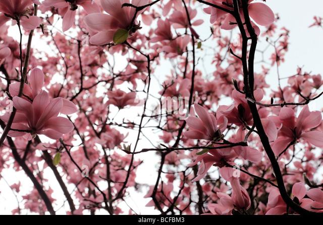 striking pink magnolia tree blooms fine art photography Jane Ann Butler Photography JABP433 - Stock Image