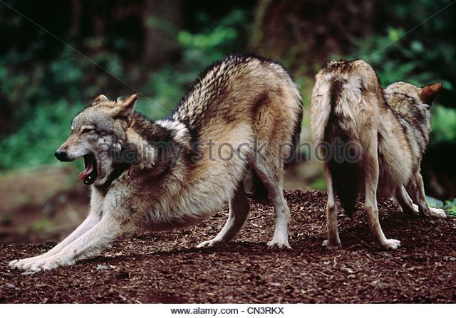 Grey wolves, Vancouver Island, British Columbia, Canada - Stock Image