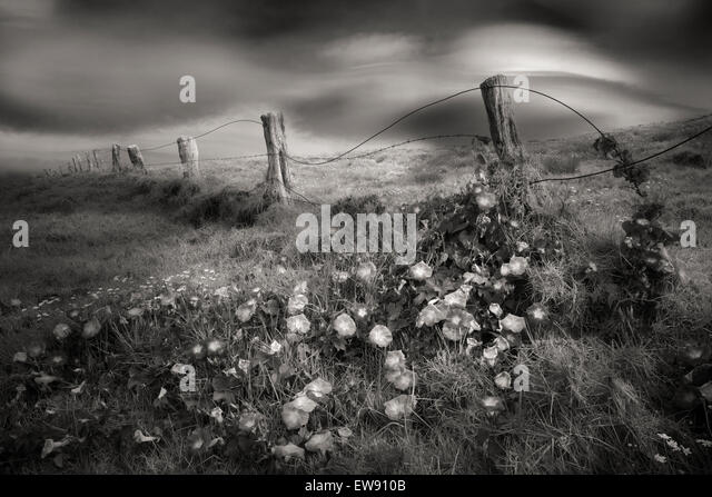 Fenceline and Morning Glory flowers. Hawaii, The Big island. - Stock Image
