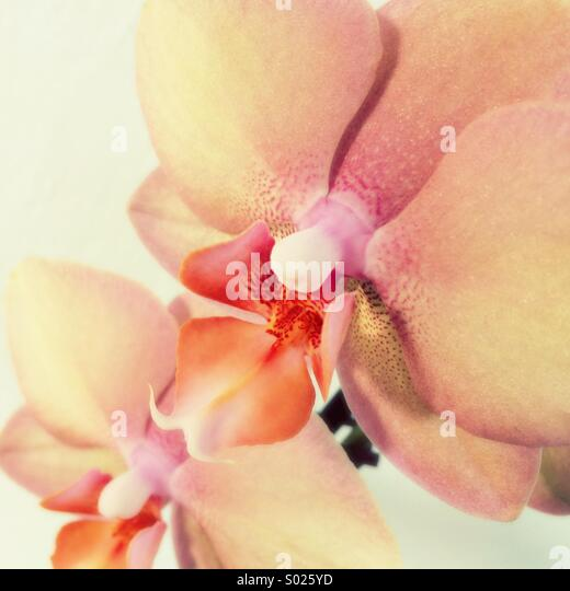 Pink orchid flower - Stock Image
