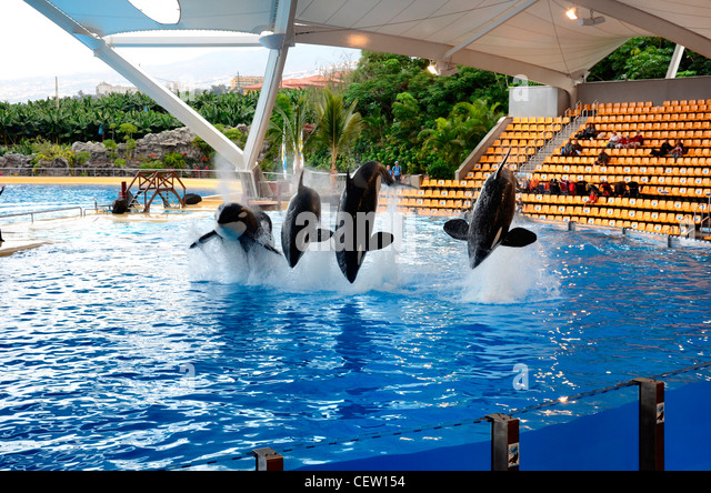 Orca Whale show, Loro Parque aquarium and Theme Park, Costa Adeje, Tenerife, Canary Islands, Spain - Stock Image