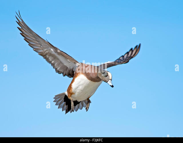 Male American Wigeon In flight - Stock Image
