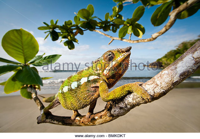 Male Panther Chameleon stalking prey in beach side vegetation, Bay of Antongil, Masoala Peninsula National Park, - Stock Image