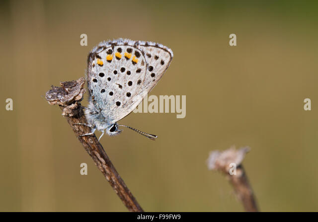 Baton Blue butterfly (Pseudophilotes baton) underside of an adult male perched in early morning sunshine. France. - Stock Image