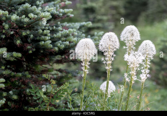 Group of Bear Grass Blooming next to pine tree - Stock Image